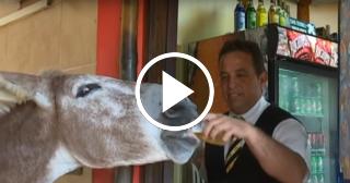 Pancho, el burro cubano que toma cerveza