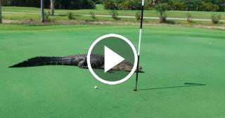 Caimán conduce sus 16 críos por un campo de golf en la Florida