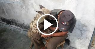 Cubano tiene una hiena por mascota