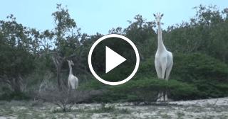 Avistan dos jirafas completamente blancas en Kenia