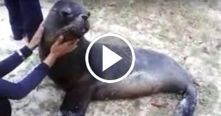 Una leona marina, hallada con vida tras el huracán Irma a 10 kilómetros de su acuario