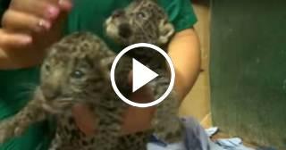 El Zoológico Nacional de Cuba se ve obligado a controlar la natalidad en los felinos
