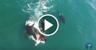 Un dron capta el terrorífico ataque de un grupo de orcas a una ballena