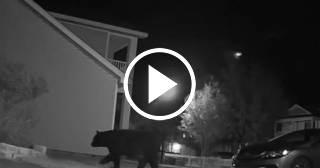 Graban a un oso merodeando por un edificio de apartamentos en la Florida