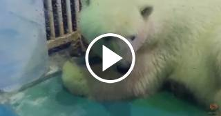 """Campaña para salvar a Pizza, el oso polar """"más triste del mundo""""."""