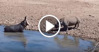Un hipopótamo ahogó a un rinoceronte en pocos segundos