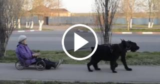Abuela rusa camina en carrito tirado por perros