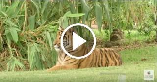 Tigre del zoológico de Miami arranca de un mordisco un pedazo de dedo a su cuidadora