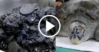 Extraen 915 monedas del estómago de una tortuga en Tailandia
