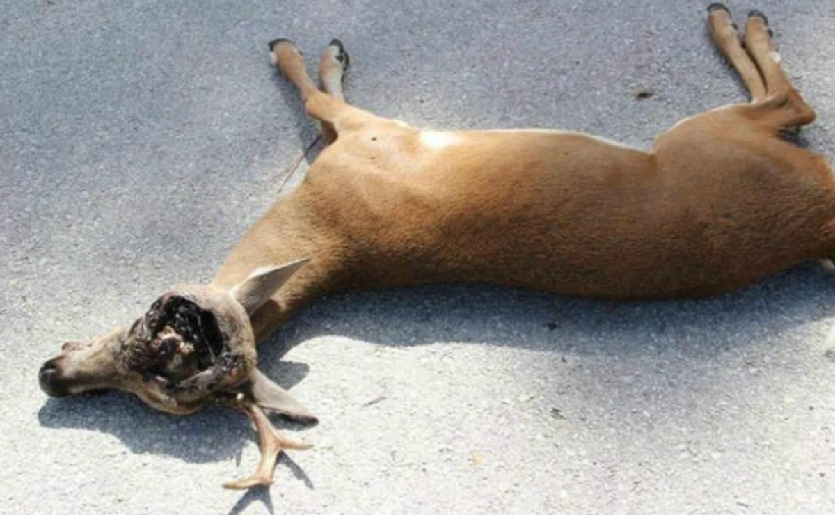 """16 animales han sido víctimas del gusano """"comecarne"""" en Florida"""