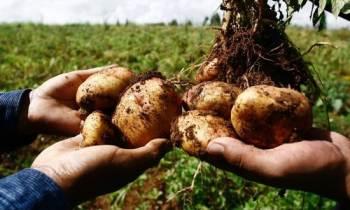 Matanzas ofrecerá 17 libras de papa por habitante hasta el fin de la cosecha
