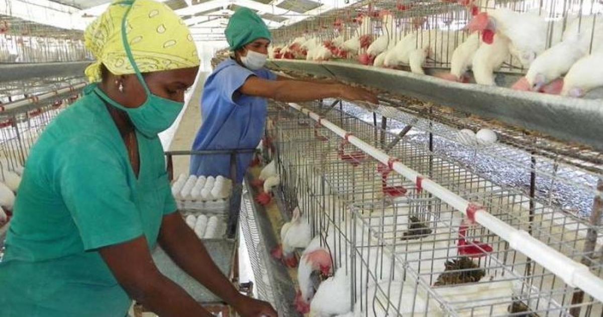 Cuba expone en una feria nacional su deprimida producción de huevos